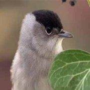 Migrations secrètes – La fauvette à tête noire