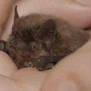 Migrations secrètes - La chauve-souris pipistrelle de Nathusius