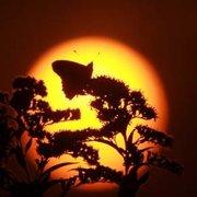 Migration secrètes - Papillon Belle Dame