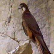 Migrations secrètes - Le faucon d'Eléonore