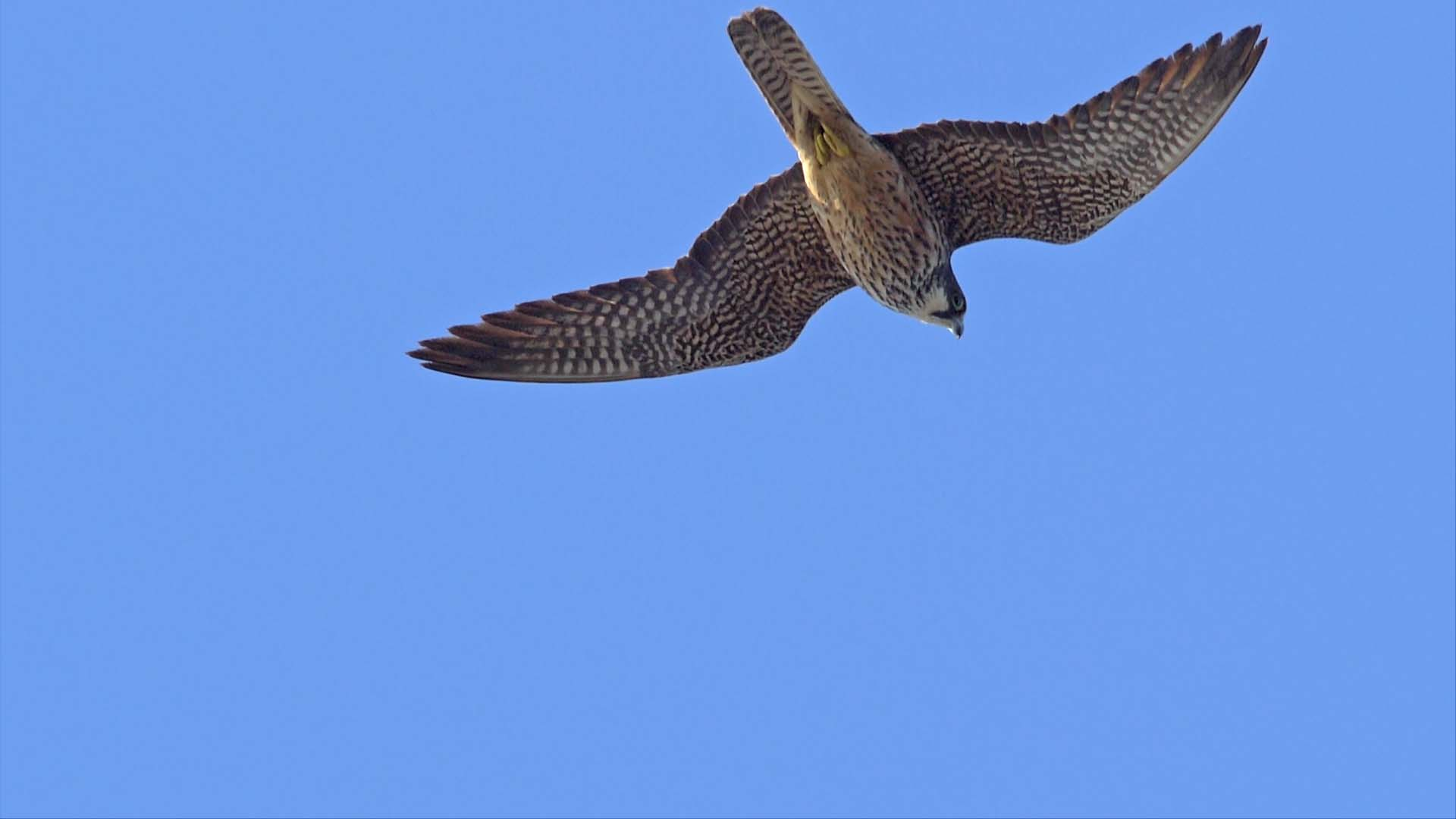 Migrations secrètes – Le faucon d'Eléonore