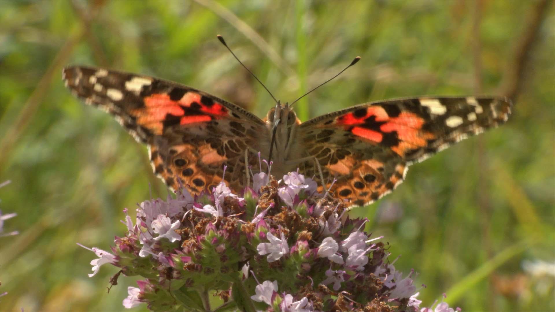 Migration secrètes – Papillon Belle Dame