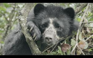«La vie secrète de l'ours à lunettes» sélectionné au Festival du film vert de Lausanne